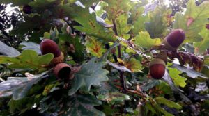 Acorns on the oak tree. Acorns app review